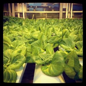 elly lettuce